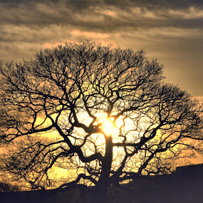 Boxing Day Tree by James Holdsworth - Landscapes Sunsets & Sunrises ( tree, silhouette, sunrise, glow )