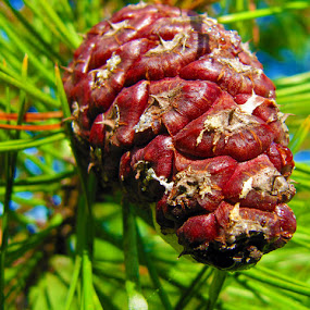 Pinecone by Che Dean - Nature Up Close Trees & Bushes ( pinecone, tree, seed )