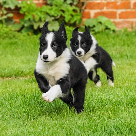 by Sue Lascelles - Animals - Dogs Puppies
