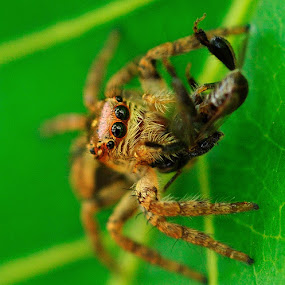 no mercy by Muhammad Yamani - Animals Insects & Spiders ( macro, bee, spider )