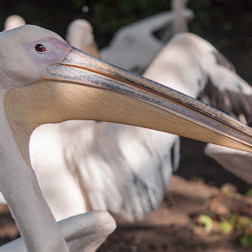Pelican by Rui Medeiros - Animals Birds ( animals, zoo, amsterdam, birds,  )