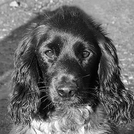 B&W Pup by Chrissie Barrow - Black & White Animals ( monochrome, black and white, cocker spaniel, pet, pup, dog, mono, portrait, animal )
