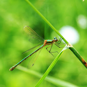 Your Own Air Majesty by Vero Vero - Animals Insects & Spiders ( macro, grass, green, dragonfly, insect )