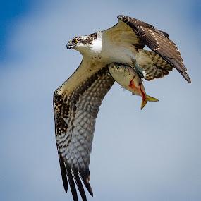 Osprey by Mike Trahan - Animals Birds ( bird, nature, fish, animals in motion, prey, motion, pwc76, osprey, animal )