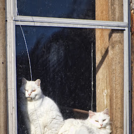 How much are the kitties in the window? by Vivian Gordon - Animals - Cats Portraits ( farm, cats, animals, barn, felines, rural, country )