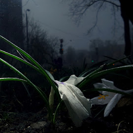 *** by Jurijs Ratanins - Instagram & Mobile Android ( mobilography, nature, crocus, white, plants, flowers, city )