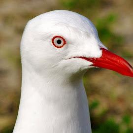 The Seagull by Mark Hurkmans - Animals Birds ( animals, seagull, nature, birds, gulls )