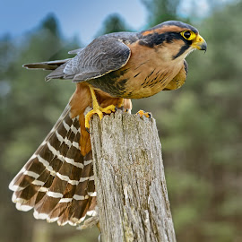 Aplomado Falcon by Betty Arnold - Animals Birds ( bird, bird of prey, aplomado falcon, falcon, animal )