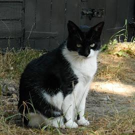 Black & White by Andrew Massey - Animals - Cats Portraits ( cat portrait, cat )