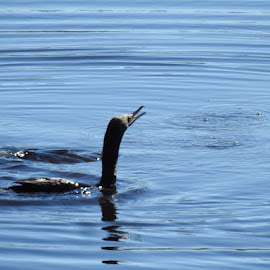 Little Black Cormorant  by Sharon Cislowski - Novices Only Wildlife ( water, nature, ripples, wildlife, birds )