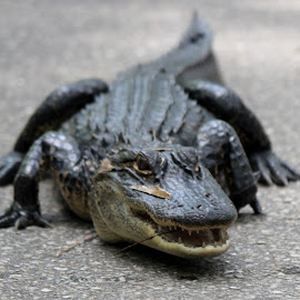 Alligator by Diane Mondalto - Animals Reptiles ( face, alligator, small )