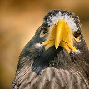 The King of the Air by Jiri Cetkovsky - Animals Birds ( bird, look, eagle, zoo, portrait )