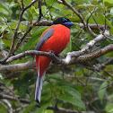 Scarlet-rumped trogon