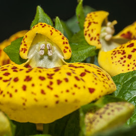 Calceolaria or Venus Shoes by Pedro Ribeiro - Nature Up Close Other plants ( jardim, calceolaria or venus shoes, plant, calceolaria, macro, planta, green, garde, flor )