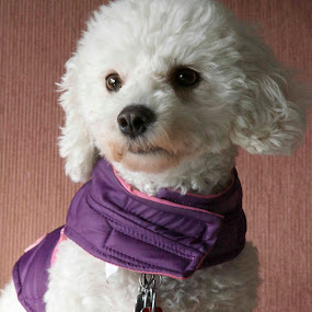 Violet by Mark Lendacky - Animals - Dogs Portraits ( purple, violet, white, puppy, dog )