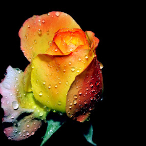 yellow rose by Anand Kumar - Nature Up Close Flowers - 2011-2013 ( water, rose, nature, petals, drops, dew drops, yellow, close up, flower )