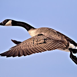 At The Harbour 2 by Terry Saxby - Animals Birds ( bird, goderich, ontario, goose )
