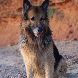 the Dog by Suzana Svečnjak - Animals - Dogs Portraits ( love, animals, pets, summer, dog, german shepard )