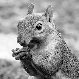 by Judy Rosanno - Black & White Animals ( praying, close up, squirrel,  )