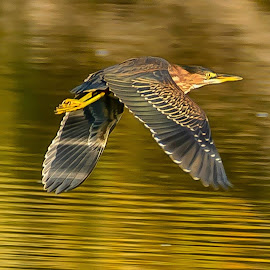 Flight of the Green Heron by Jerry Cahill - Animals Birds ( water, flying birds, green heron, herons, heron )