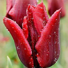 red tulip by Caroline Beaumont - Flowers Single Flower ( red tulip )