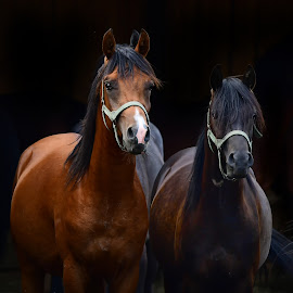 by Stanley P. - Animals Horses (  )
