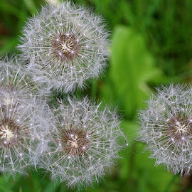 Four + One by Chrissie Barrow - Nature Up Close Other Natural Objects ( seedheads, dandelion, nature, green, white, seeds, group, bokeh, closeup )