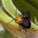 Meloid Beetle