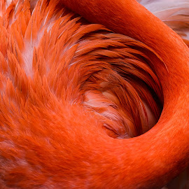 Swirl by Judy Rosanno - Abstract Patterns ( bird, abstract, swirl, flamingo, feathers, closeup,  )