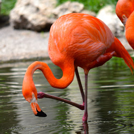 by Clara Scarano Scubla - Novices Only Wildlife ( colorful birds, flamingos, birds )