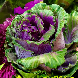 by Clara Scarano Scubla - Food & Drink Fruits & Vegetables ( purple, cabbage, green, photo stream,  )