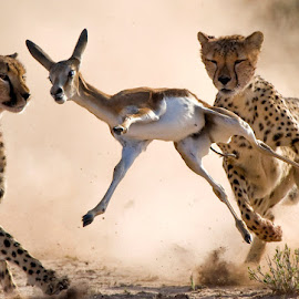 Moments by Bridgena Barnard - Animals Lions, Tigers & Big Cats ( cheetah, animals, barnard, kill, images, hunt, springbok, fantastic wildlife, kgalagadi, bridgena )