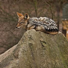 Fox resting  by Monika Sedláčková - Animals Other Mammals ( fox unturned, fox resting, fox resting fox )