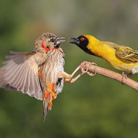 2 birds by Francois Loubser - Animals Birds