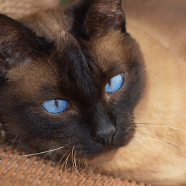 Leon by Vedrana Vidovic - Animals - Cats Portraits ( siamese cat, siamese, cat, blue eyes )