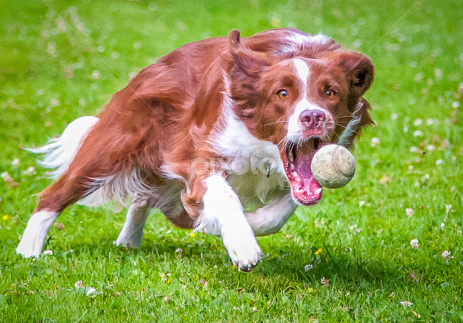my ball.............. by 'Monique Smit - Animals - Dogs Playing ( natural light, playful, joy, cute, run, running, natural background, playing, nature, happy, action, mamal, animal, moving, animalia, adult, portrait, canine, joyful, animal kingdom, pet, zoology, dog, companion dog, natural, #GARYFONGPETS, #SHOWUSYOURPETS,  )