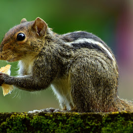 squirrel  by Rahul Manoj - Novices Only Wildlife ( sitting, black eyes, green, food, squirrel )