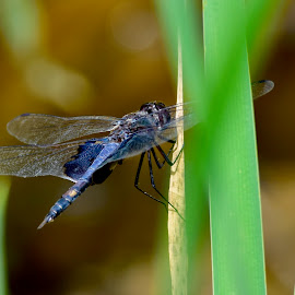 Blue Corporal by Jeff Sluder - Animals Insects & Spiders
