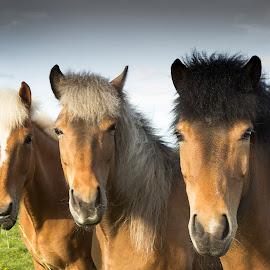 Icelandic horses by Anna Guðmundsdóttir - Animals Horses ( iceland, icelandic horses, hestar., horses, íslenskir hestar, hestaferð, anna guðmundsdóttir, ísland, horse trip )