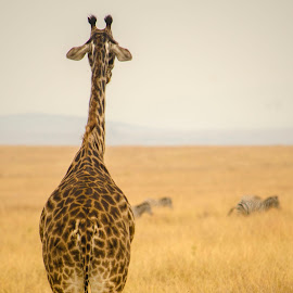 Giraffe Back by Praveen Chandra - Animals Other ( giraffe back, giraffe, masaimara )