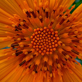 by Nico Ebersohn - Flowers Single Flower ( round, pedals, nature, yellow, pattern,  )