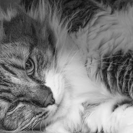 Juliet by Jennifer Wollman - Animals - Cats Portraits ( cats, pet photography, monochrome, black and white, cat portraits )
