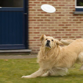 Gotta get that UFO!! by Gerd Moors - Animals - Dogs Playing ( flying, action, play, dog, golden retriever, disc,  )