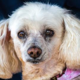 Keeta by Dave Lipchen - Animals - Dogs Portraits ( poodle, dog, keeta )