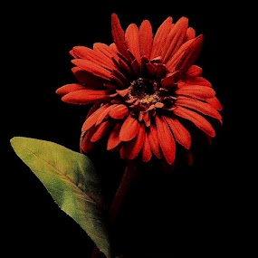 red ❤️ by Zahra  Alkhawaher  - Flowers Single Flower (  )