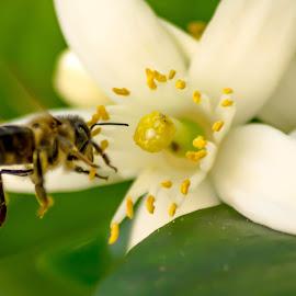 working by Hugo Silva - Novices Only Macro ( macro, pollen, bee, spring, flower,  )
