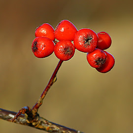 A Bunch of Berries by Chrissie Barrow - Nature Up Close Other Natural Objects ( red, nature, spherical, bokeh, closeup, berries )