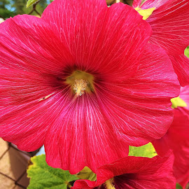 red hollyhock by Debbie Theobald - Instagram & Mobile iPhone ( hollyhock, arizona, red flowers, unedited, mobile uploads, iphone, flowers )