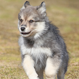On your mark, get set, go! by Mia Ikonen - Animals - Dogs Puppies ( finnish lapphund, action, finland, fun, motion )