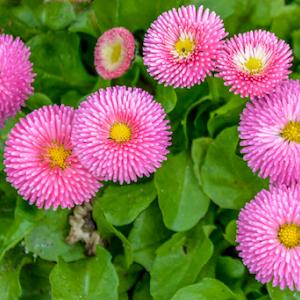 Fuzzy Pink Flowers.jpg